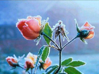 20080812141920-rosas.jpg